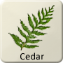 Celtic Tree - Cedar