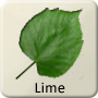 Celtic Druid Tree - Lime