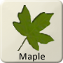 Celtic Tree - Maple