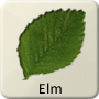 Celtic Tree - Elm
